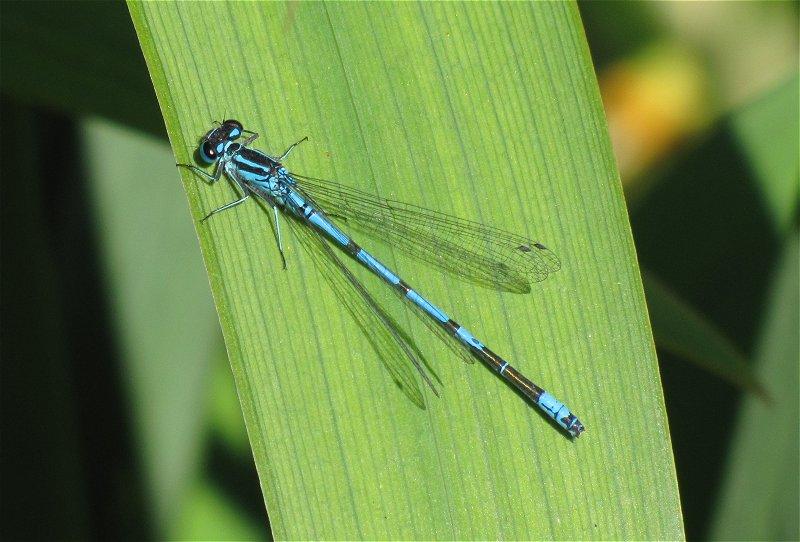 azure damsel flies fly - photo #7