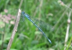 Male Azure Damselfly at Foggathorpe on 09/06/2009. - © Paul Ashton.