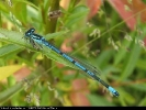 Male Azure Damselfly at Brandesburton Ponds on 11/06/2006. - © Diane Wakelin.
