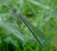 Female Azure Damselfly at Staveley Nature Reserve on 07/05/2009. - © Stuart Roebuck.