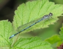 Male Azure Damselfly at Tophill Low on 15/05/2010 - © Paul Ashton.
