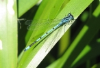 Male Azure Damselfly at Pocklington Canal on 22/06/2010 -© Paul Ashton.