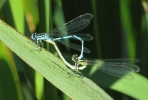 Pair of Azure Damselfly at Pocklington Canal on 22/06/2010 -© Paul Ashton.