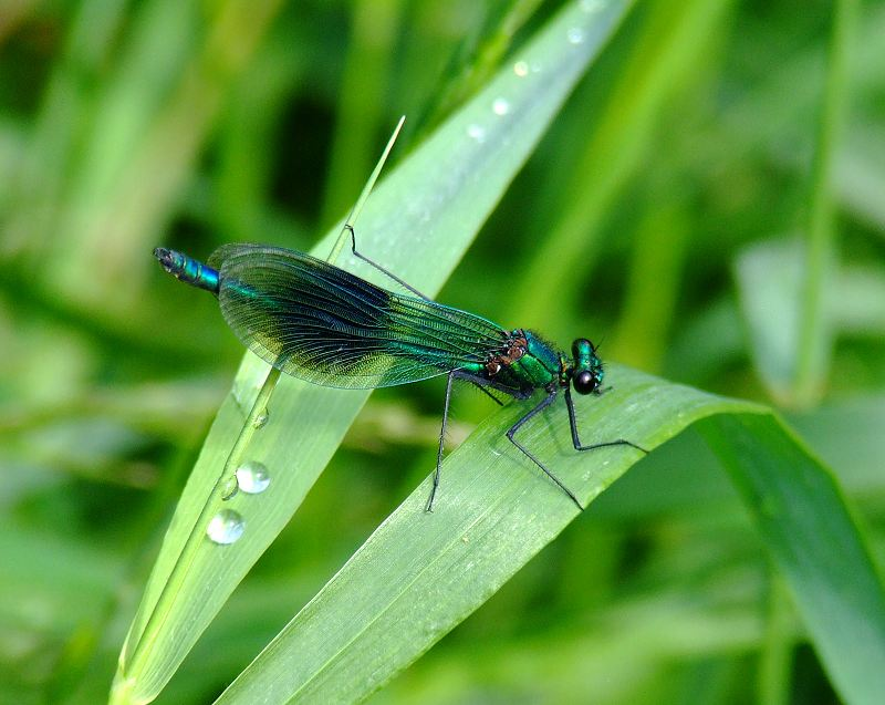 Male Banded Demoiselle on the River Nidd, Killinghall on 01/07/2009. - © Stuart Roebuck.