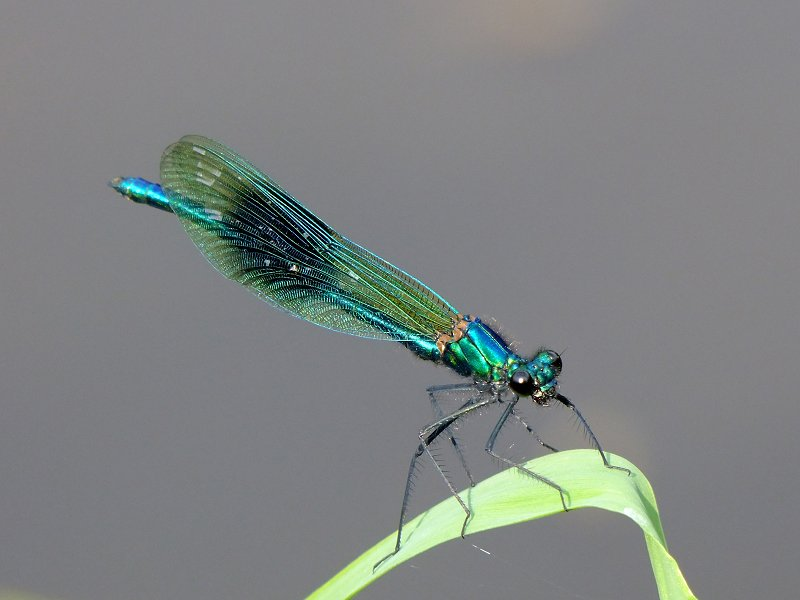 Male Banded Demoiselle on the River Nidd on 04/06/2010. -© Stuart Roebuck.