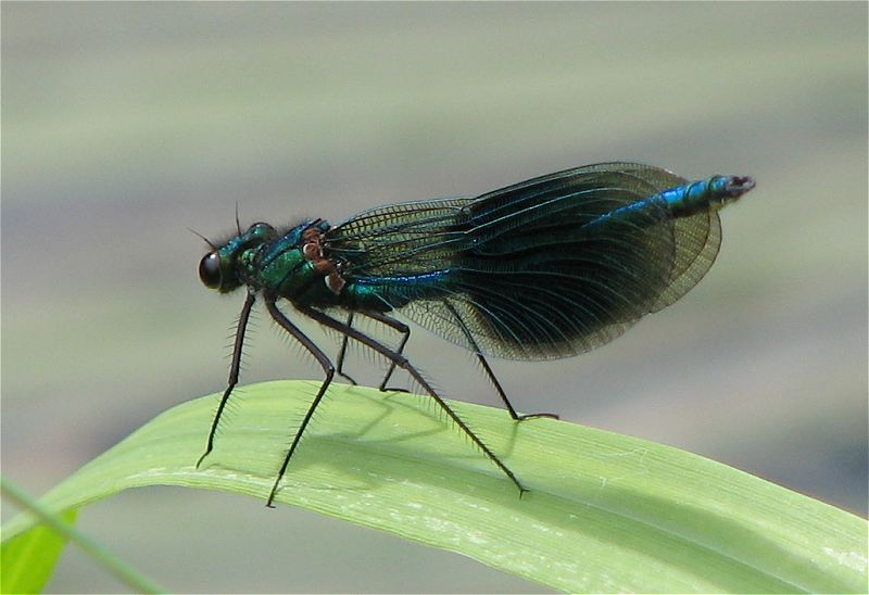 Male Banded Demoiselle on the River Derwent on 04/07/2009. - © Paul Ashton.