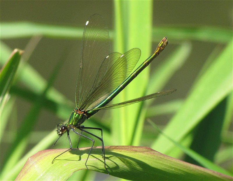 Female Banded Demoiselle on the River Derwent at Ganton on 17/06/2010. - © Paul Ashton.