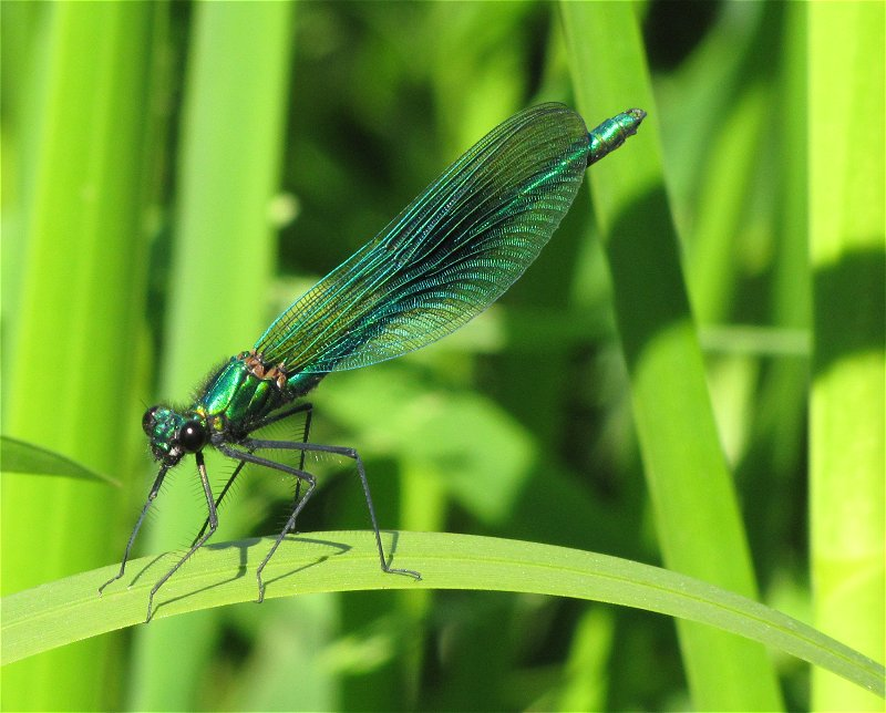 Male Banded Demoiselle on the River Derwent at Ganton on 17/06/2010. - © Paul Ashton.
