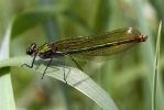 21052011-bandem-female-pugneys-mickhemingway