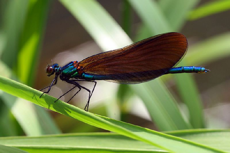 Immature male Beautiful Demoiselle on the River Derwent at Ganton on 29/05/2009. - © John Hume.