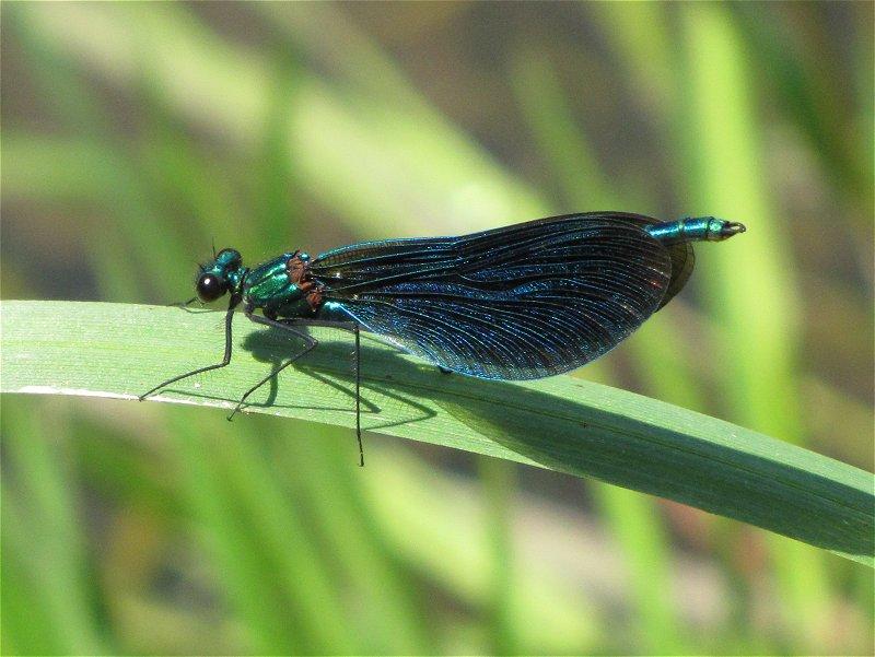 Male Beautiful Demoiselle on the River Hertford at Ganton on 17/06/2010. - © Paul Ashton.