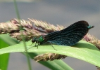Male Beautiful Demoiselle on the River Derwent on 04/07/2009. - © Paul Ashton.