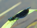 Male Beautiful Demoiselle on the River Hertford at Ganton on 17/06/2010. - © Paul Ashton.