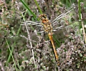 Black Darter at Skipwith Common on 28/06/2009. - © Martin Hodges.