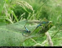 Copulating pair of Blue-tailed Damselfly at Pocklington Canal, Beilby on 16/06/2007. - © Paul Ashton.