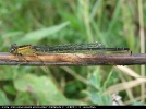 Female Blue-tailed Damselfly of the form infuscans-obsoleta at Broomfeelt Washlands on 19/08/2007. - © Paul Ashton.