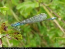 Female Blue-tailed Damselfly of the form typica at Oak Road Lake, Hull on 19/08/2007. - © Paul Ashton.