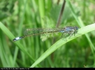 Female Blue-tailed Damselfly at Tophill Low on 17/05/2008. - ©Paul Ashton.