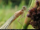 Teneral Blue-tailed Damselfly at Potteric Carr on 28/06/2008. - © Paul Ashton.