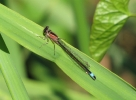 Female Blue-tailed Damselfly at Pocklington Canal on 22/06/2010 - © Paul Ashton.