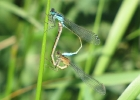 Pair of Blue-tailed Damselfly at Pocklington Canal on 22/06/2010 - © Paul Ashton.