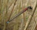 28042011-bludam-female-broomfleet-paulashton