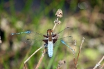 Male Broad-bodied Chaser at Reighton Ponds on 02/06/2009. - © John Hume.