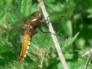 Broad-bodied Chaser at North Bay, Scarborough on 25/05/2009 - © Lee & Jax Westmoreland