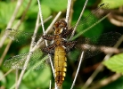 Female Broad-bodied Chaser at Langton Wold on 21/05/2010 - © Doug Fairweather.