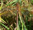 Brown Hawker on the River Esk at Grosmont on 29/08/2009. - © Graham Featherstone.