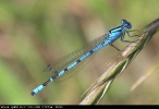 Male Common Blue Damselfly at Tophill Low on 23/07/2008. - © Michael Flowers.