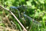 Copulating pair of Common Blue Damselfly at Broomfleet Ponds Complex on 31/05/2009. - © Paul Ashton.