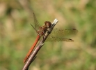 Male Common Darter at North Cliffe Wood on 22/08/2009. - © Paul Ashton.