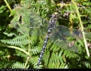 Male Common Hawker at Skipwith Common on 07/09/2004. - © Paul Ashton.
