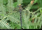 Male Common Hawker at Skipwith Common on 19/08/2008. - © Paul Ashton.