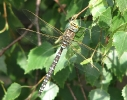 Male Common Hawker at North Cliffe Wood on 22/08/2009. - © Paul Ashton.