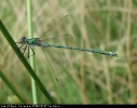 Male Emerald Damselfly at Skipwith Common on 17/06/2007. - © Paul Ashton.