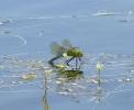 Ovipositing female Emperor Dragonfly at Farnham Lakes on 01/07/2009. - © Stuart Roebuck.
