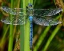 Male Emperor Dragonfly at Farnham Lakes on 11/07/2009. - © Stuart Roebuck.