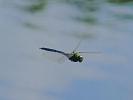 Male Emperor Dragonfly at Farnham Lakes on 13/07/2009. - © Stuart Roebuck.