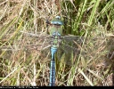 Male at Emperor Dragonfly Spurn Point on 22/06/2007. - © Paul Ashton.