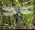 Male Emperor Dragonfly at Spurn point on 23/07/2008. - © Diane Wakelin.
