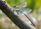 Male Emperor Dragonfly at Farnham Lakes on 25/06/2009. - © Stuart Roebuck.