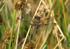 Praenublia Four-spotted Chaser at Skipwith Common on 16/07/2009. - © Paul Ashton.