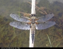 Four-spotted Chaser at Tophill Low on 22/06/2004. - © Paul Ashton.