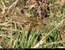 Four-spotted Chaser at Skipwith Common on 01/05/2007. - © Paul Ashton.