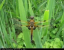 Four-spotted Chaser at Broomfleet Washlands on 26/05/2007. - © Paul Ashton.