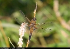 Four-spotted Chaser at Brandesburton Ponds on 08/06/2007. - © David Maston.