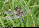 Four-spotted Chaser at Broomfleet Washlands on 16/06/2007. - © David Maston.