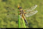 Four-spotted Chaser. - © Diane Wakelin.